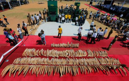 Tusks on Tuesday in Colombo as Sri Lanka became the first South Asian country to publicly destroy seized ivory. Photo Credit: Eranga Jayawardena via Associated Press