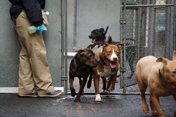 "Cupcake, left, and Yung, both pit bull mixes, during ""puppy playgroup"" in the backyard at the East Harlem shelter run by Animal Care Centers of NYC. The program was added in 2014 to improve the dogs' immunity and make them more docile and adoptable, the shelter said. Photo Credit: Nicole Bengiveno/The New York Times"