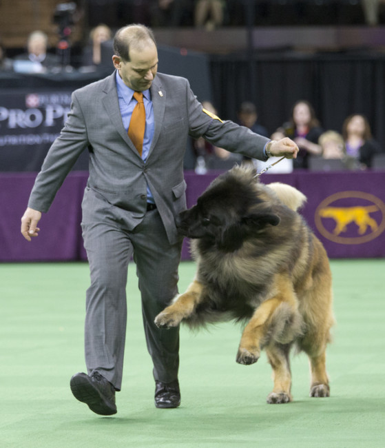 Sam Mammano shows Dario, a Leonberger, in the ring during the working group competition at the 140th Westminster Kennel Club dog show, Tuesday, Feb. 16, 2016, at Madison Square Garden in New York. Photo Credit: AP Photo/Mary Altaffer