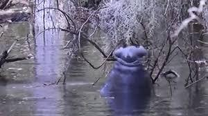 Hungry Manatee 'climbs' tree to chomp on moss