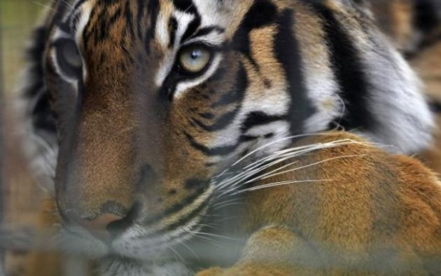 A Malayan tiger killed Stacey Konwise at Palm Beach Zoo. Photo Credit: REX via Telegraph