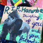R.I.P Harambe western lowland gorilla killed at the Cincinnati Zoo