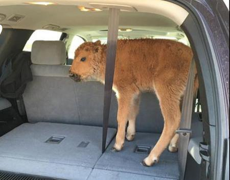 The bison calf pictured above was euthanized by Yellostone Park rangers after tourists placed the animal in their SUV. Photo Credit: via Facebook