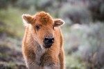 bison calf euthanized at yellowstone park