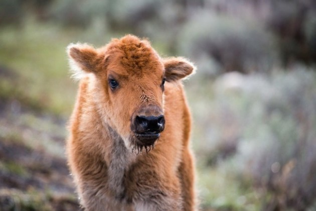 A bison calf pictured in Yellowstone in 2014. Photo Credit: Neal Herbert/Yellowstone National Park/Flickr