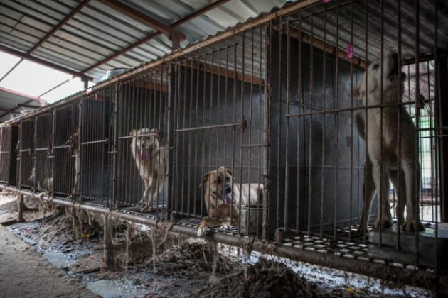 About 30 million dogs are killed each year for their meat in Asia. Photo Credit: Jean Chung via New York Times
