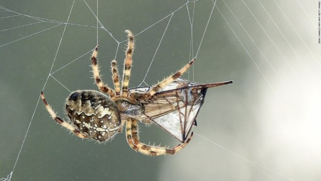 The Golden Orb Weaver produces seven types of silk for its web. Photo Credit: CNN