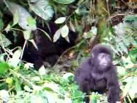 Brave Baby Gorilla Tries Out First Chest Pound