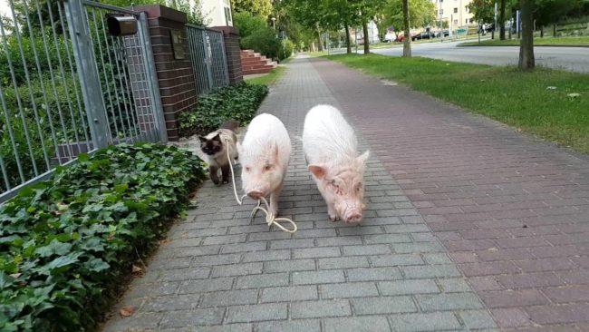 Pig Shows Cat Street Skills