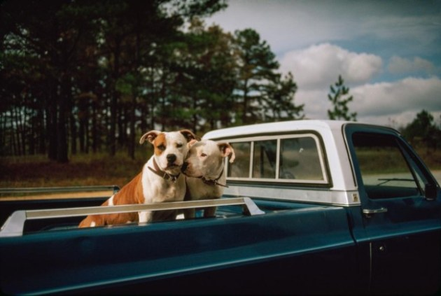 Pit bulls, like these in Oxford, Mississippi, arouse strong passions. To some, they are canine killers that should be banned. To others, they are victims of prejudice and misunderstanding. Who's right? Photo Credit: William Albert Allard via National Geographic
