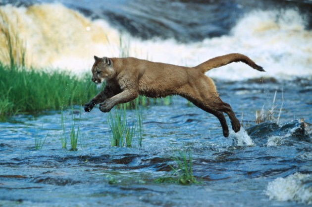 Cougars can kill hundreds of deer over the course of their lives, leading some scientists to argue that restoring them to 19 states with large populations of deer could prevent automobile-deer collisions. Credit Konrad Wothe/Minden Pictures