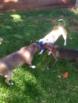 lulu-the-pit-bull-and-other-dogs-play-with-toy-in-yard