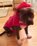 lulu-the-pit-bull-tries-on-little-red-riding-hood-dog-cosstume