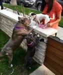 lulu-the-pitbull-and-puppy-meet-new-small-neighbor-dog