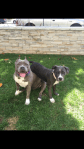 lulu-the-pitbull-being-silly-with-pit-bull-puppy-in-yard