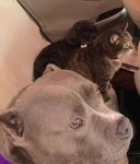 lulu-the-pitbull-loves-road-trips-with-stanley-the-dog-and-omar-the-cat-in-car