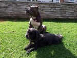 lulu-the-pitbull-sits-with-dog-friend-stanley-in-front-yard