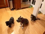 lulu-the-pitbull-with-dog-stanley-and-cat-omar-waiting-for-dinner