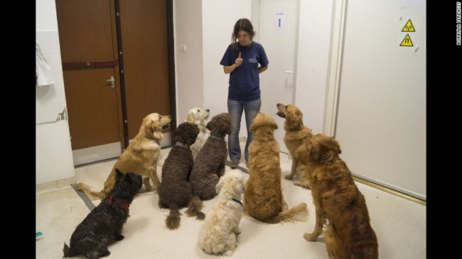 Dogs listen to their trainer Marta Gacsi in an MRI study about language processing. Photo Credit: CNN
