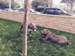 lulu-the-dog-meets-another-pitbull-in-yard