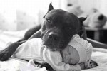 pit-bull-with-sleeping-baby