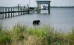 wild-black-bear-frightened-by-tranquilizer-dart-runs-into-gulf-water