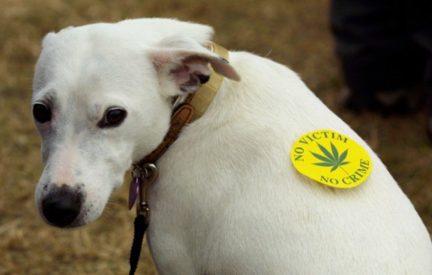 A dog wears a marijuana sticker at the ''Smokey Bears Picnic'', a pro-marijuana gathering in Portsmouth on the South coast of England. The gathering was to raise awareness for the decriminalisation of marijuana in the UK. Photo Credit: Sion Touhig via Getty Images