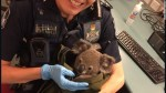 australian-police-arrest-woman-with-a-koala-in-her-bag