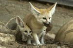 baby-fennec-fox-and-his-mother-with-a-mouse-in-her-mouth