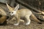 baby-fennec-fox-at-ramat-gan-safari-zoo-in-israel
