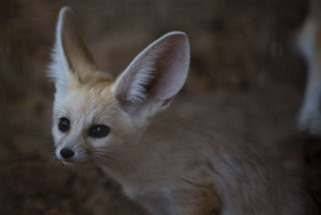 A 6-week old Fennec fox, the smallest species of foxes, and a native to the Sahara desert in Africa, sits in the Ramat Gan Safari Park , Nov. 6, 2016. Photo Credit: Ariel Schalit / AP