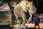 elephant-trained-with-bullhook-at-six-flags-discovery-kingdom