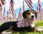patriotic-beagle-dog-with-american-flags