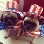 patriotic-pugs-wearing-american-flag-outfits