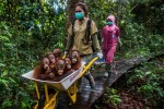 baby-orangutans-in-wheelbarrow-to-the-international-animal-rescues-center-in-indonesia