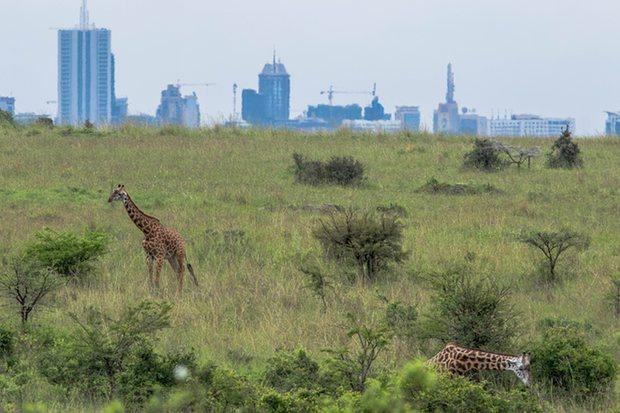Giraffes grazing in the Nairobi national park. Photo credit: Grayling Kenya Photo/Stuart