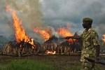 Kenyan Wildlife Service ranger guards illegal stockpiles of elephant tusks burned