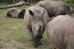 Vince white rhino killed at wildlife park zoo in Paris France