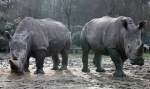 white rhinos Gracie and Bruno safe at Thoiry Zoo in France