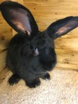 Simon continental giant rabbit dies in cargo on United Airlines flight