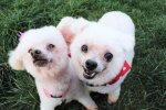 Hansel and Gretel, senior dogs available for adoption at Frosted Faces Foundation