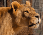 Kenya the lion was one of the animals euthanized at Lion's Gate Sanctuary