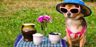 pets, dogs, memorial day, pet care, pet safety, chihuahua, summer