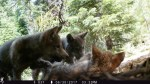 remote trail camera reveals 3 gray wolf pups in California