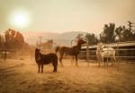 horses at Humane Society of Ventura County in Ojai during Thomas fire