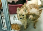 Rescued Pomeranians sheltered at Animal Foundation in Las Vegas