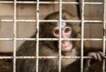 monkey caged for animal testing