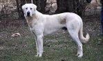 akbash dog breed