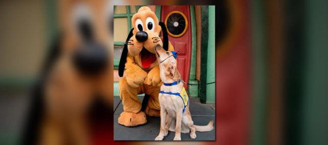 Service Pup's Adorable Visit To Disneyland