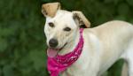 rescue dog wearing bandana